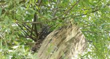 vrijgelaten steenuiltje in boom