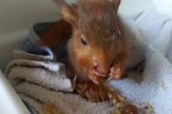 eekhoorntje eet nootje in couveuse