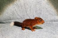 rode eekhoorn jong met zwarte staart en witte punt