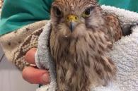 nieuwe torenvalk in wildlife hospitaal